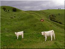 ST8412 : Cattle on Hambledon Hill by Jim Champion