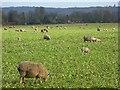 SU8183 : Sheep, Hurley by Andrew Smith