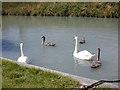 SU2662 : Swans and cygnets at Crofton by Nigel Brown