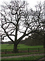 TG1411 : Large tree in cattle pasture by Evelyn Simak