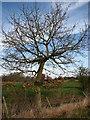 TG0903 : Young oak beside footpath by Evelyn Simak