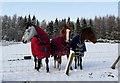 NH7376 : Ponies near Dalnaclach by sylvia duckworth