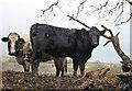NY9638 : Muddy cattle by Helen Wilkinson