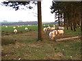 SO2486 : Sheep in field by John Poyser