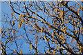 SH4738 : Collen - Corylus avellana - Hazel by Alan Fryer