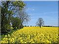 "SO4279 : ""yellow sea"" near Gorst Barn by Dave Croker"