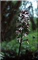 TR1247 : Lady Orchid (Orchis purpurea), Yockletts Banks by Mike Pennington