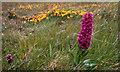 HP6208 : Northern Marsh Orchid (Dactylorhiza purpurella), Baltasound by Mike Pennington