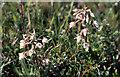 SD2902 : Marsh Helleborine (Epipactis palustris), Hightown by Mike Pennington