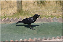 SH7683 : Raven (Corvus corax) on a Crazy Golf Course, Great Orme by Mike Pennington