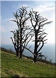 SX5646 : Dead trees above Stoke Beach by Derek Harper