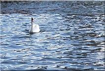 SX9291 : Swan at Trew's Weir by Derek Harper