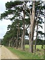 TF7801 : Breckland trees by Keith Evans