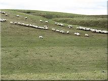 NT2756 : Sheep at breakfast, near Mount Lothian by M J Richardson