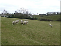 N9310 : Ewes east of Ballymore Eustace by Jonathan Billinger