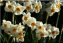 SJ3999 : Narcissi, Melling by Mike Pennington