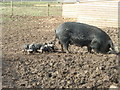 TL0876 : More Pigs in Mud by Michael Trolove