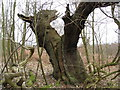 SK5966 : Sherwood Forest - Unusual Tree Shape by Alan Heardman