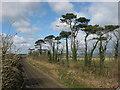 O1865 : Scots Pine and Railway at Knocknagin by Kieran Campbell