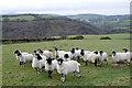 SS6743 : Sheep above Twyneford by Rabbi WP Thinrod