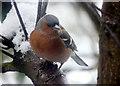 NH8707 : Male Chaffinch, Inshriach by sylvia duckworth