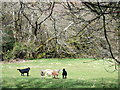 SN0927 : Goats at Temple Druid by ceridwen