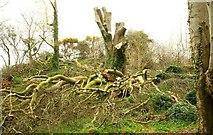 J4772 : Cut tree, Killynether Wood by Albert Bridge