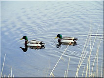 NJ3365 : Mallards at The Nature Reserve by Ann Harrison
