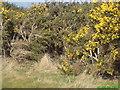 TA3224 : Scruff's gorse bush, Hollym Carrs by CHARLIE BUSS