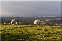 SZ0481 : Sheep grazing on Ballard Down by Jim Champion