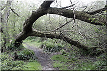 SK4833 : Fallen Willow in Fox Covert by David Lally