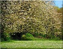 J4681 : Springtime, Crawfordsburn Country Park by Albert Bridge