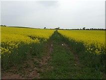 SJ6730 : 'Restricted Byway' through the rape field by John M