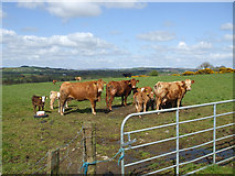 H5572 : Cows at Bracky by Kenneth  Allen