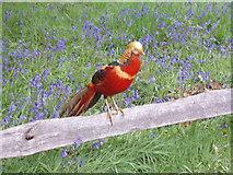 TQ1776 : Golden Pheasant in Kew Gardens by David Hawgood