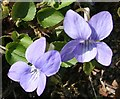 NJ0155 : Violet (Viola odorata) by Anne Burgess
