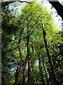 SX3876 : Beech trees near Underhill by Derek Harper