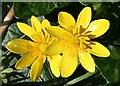 NJ6465 : Lesser Celandine (Ranunculus ficaria) by Anne Burgess