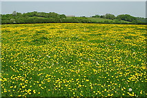 ST7772 : A carpet of buttercups by Sharon Loxton