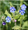 NJ3365 : Green Alkanet (Pentaglottis sempervirens) by Anne Burgess