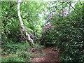 TG4800 : Path through Fritton Wood by Evelyn Simak