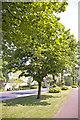 TQ2996 : Avenue of Lime Trees, Bramley Parade, London N14 by Christine Matthews