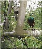 TQ2783 : Green Peafowl in the Snowdon Aviary, London Zoo by David Hawgood