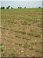 TG0628 : A crop of sugar beet by Evelyn Simak