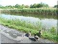 N3158 : Royal Canal & Ducks Near Ballynacarrigy, Co. Westmeath by JP