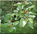 TQ2376 : Mulberry fruit and leaves at Fulham Palace by David Hawgood