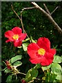 ST5509 : Wild Rose by Nigel Mykura