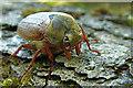 SD8967 : Malham Tarn: Cockchafer beetle by Martyn Gorman