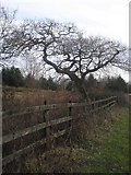 SN4505 : Oak Tree, Carway to Trimsaran road by Paul Glasper