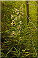 TQ1852 : Greater Butterfly Orchid (Platanthera chlorantha) by Ian Capper